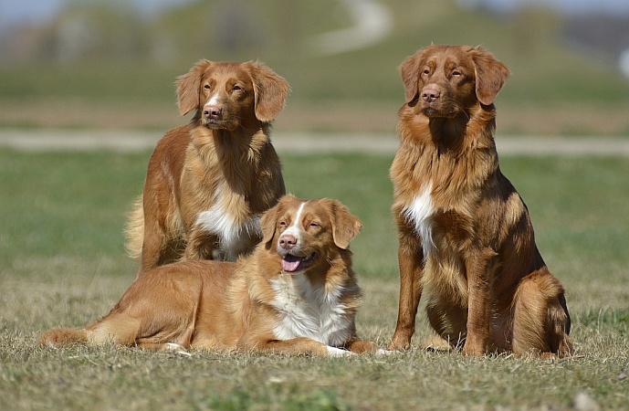 Waswanipi - Nova Scotia Duck Tolling Retriever Kennel